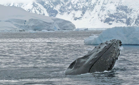 Whale in Wilhemina Bay