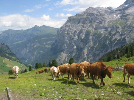The Cows are brought up each summer to spend around three months grazing on the Busenalp Alp