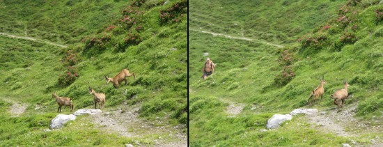 The Chamois will often come close to the hut but are easily scared by an approaching hiker