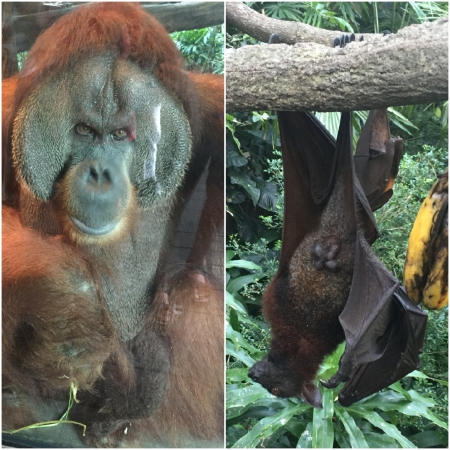 x 4 Orang Utans and Bats are just two of many species the visitor can approach at the Singapore Zoo.
